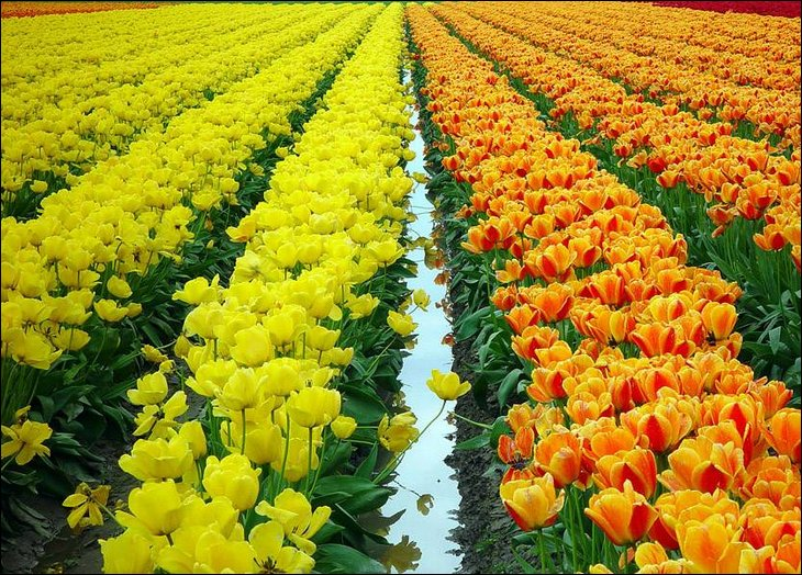Beautiful Tulip Farm Pictures of The Netherlands