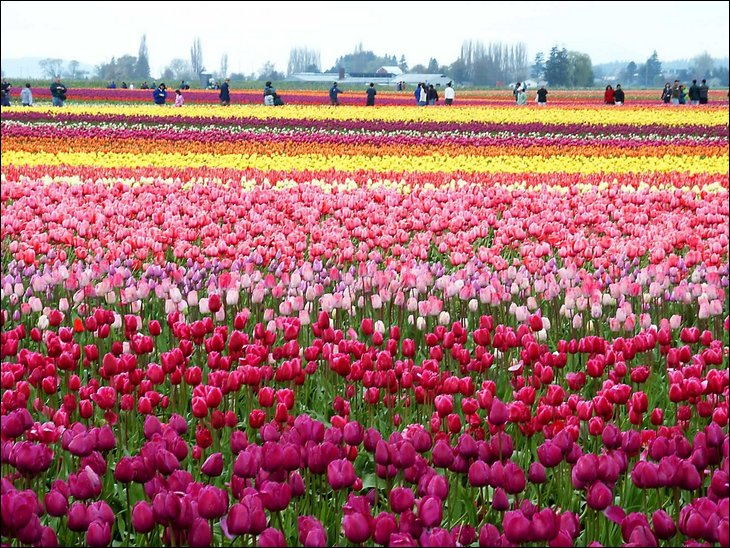 Colorfull tulips garden