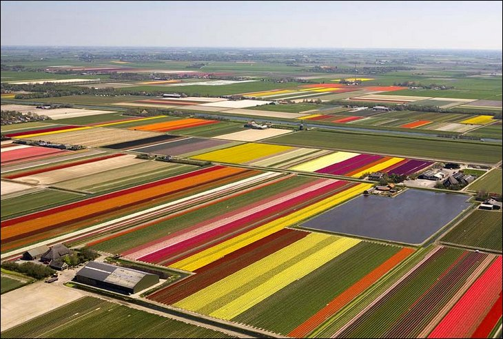Aerial view of tulip farms
