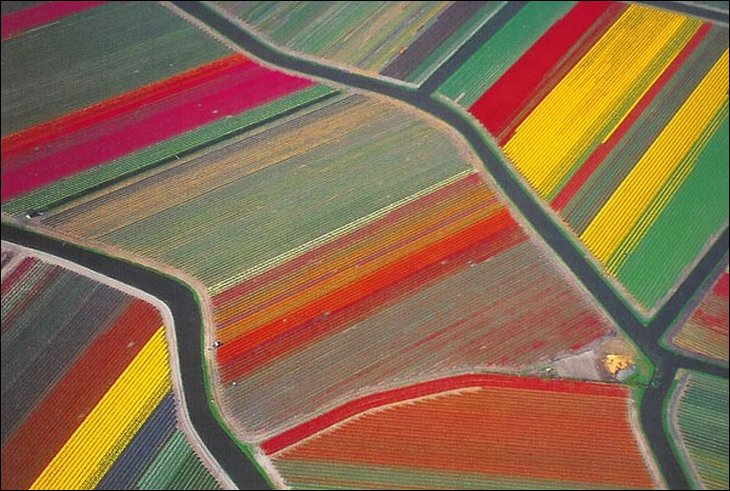 Aerial view of endless tulip farms
