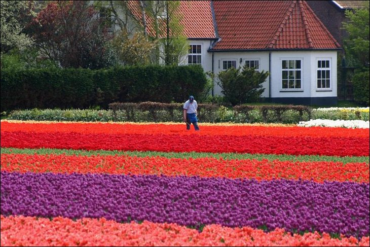 Farmer watering tulips