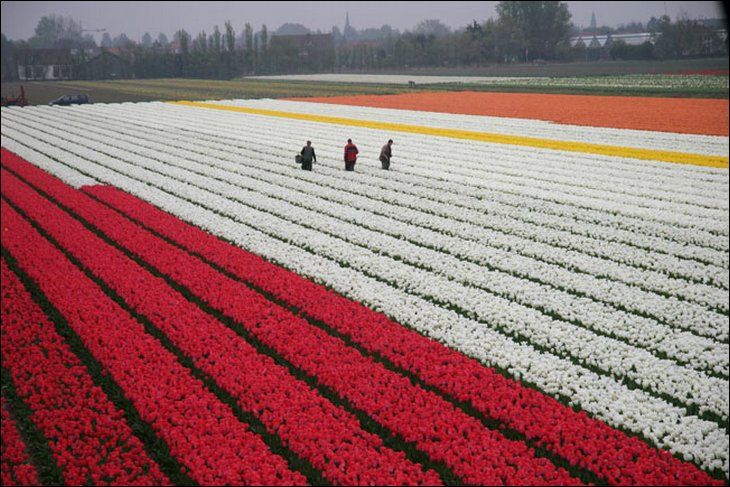 Rows and rows of tulips in a farm