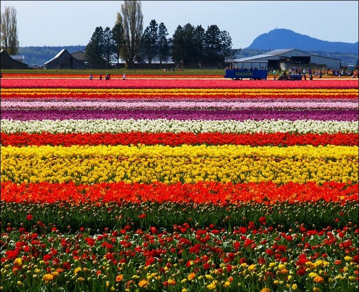 Farmers working in tulips field